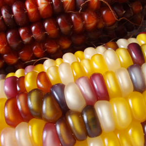 Featured Items Photos - Thanksgiving Corn